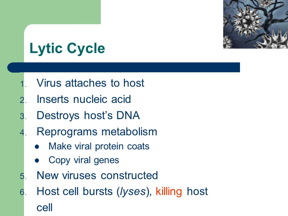 Lytic Cycle 1. Virus attaches to host 2. Inserts nucleic acid 3.