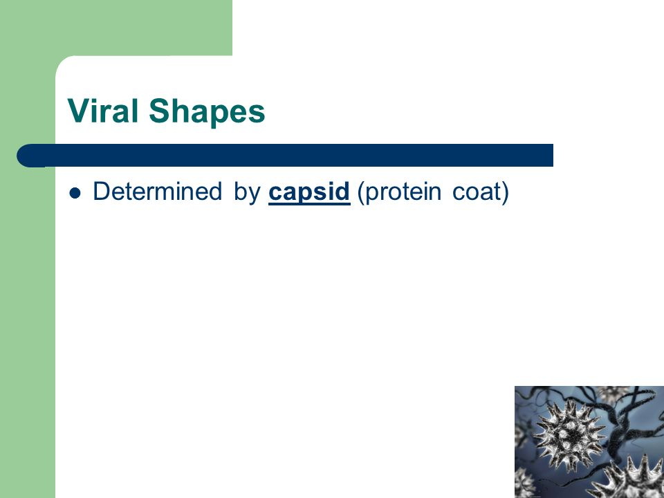 Viral Shapes Determined by capsid (protein coat)