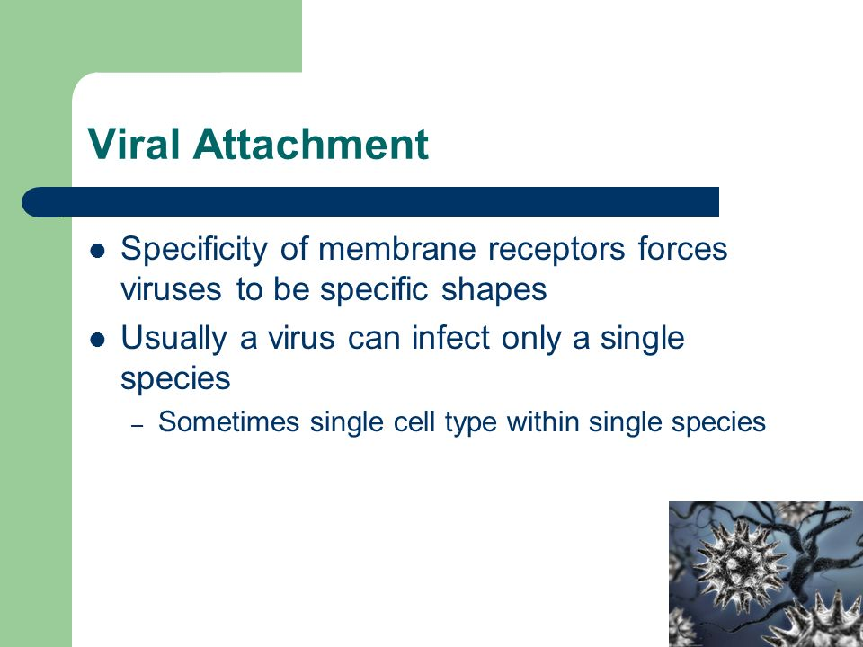 Viral Attachment Specificity of membrane receptors forces viruses to be specific shapes Usually a virus can infect only a single species – Sometimes single cell type within single species