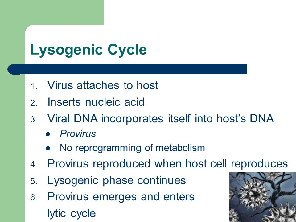 Lysogenic Cycle 1. Virus attaches to host 2. Inserts nucleic acid 3.