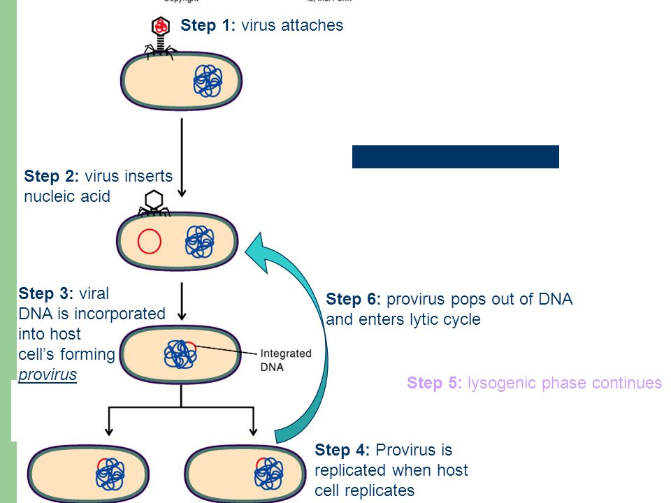 Step 1: virus attaches Step 2: virus inserts nucleic acid Step 3: viral DNA is incorporated into host cell's forming provirus Step 4: Provirus is replicated when host cell replicates Step 5: lysogenic phase continues Step 6: provirus pops out of DNA and enters lytic cycle