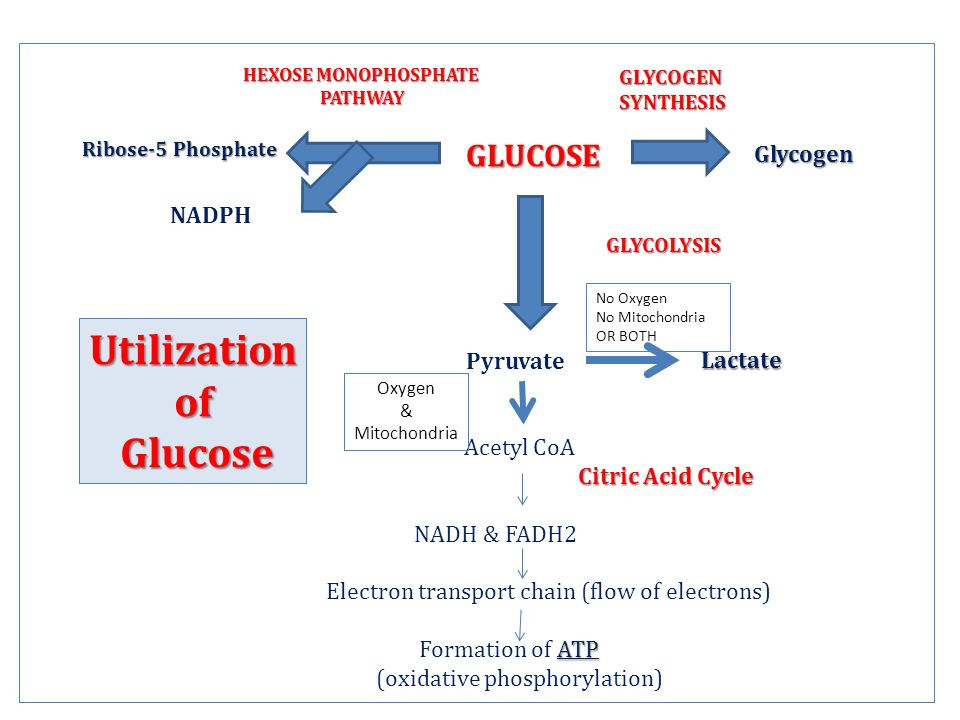 GLUCOSE GLUCOSE Pyruvate Acetyl CoA Citric Acid Cycle NADH & FADH2 Electron transport chain (flow of electrons) ATP Formation of ATP (oxidative phosphorylation) Utilizationof Glucose Glucose HEXOSE MONOPHOSPHATE PATHWAY Ribose-5 Phosphate Glycogen GLYCOGENSYNTHESIS GLYCOLYSIS NADPH Lactate Lactate Oxygen & Mitochondria No Oxygen No Mitochondria OR BOTH