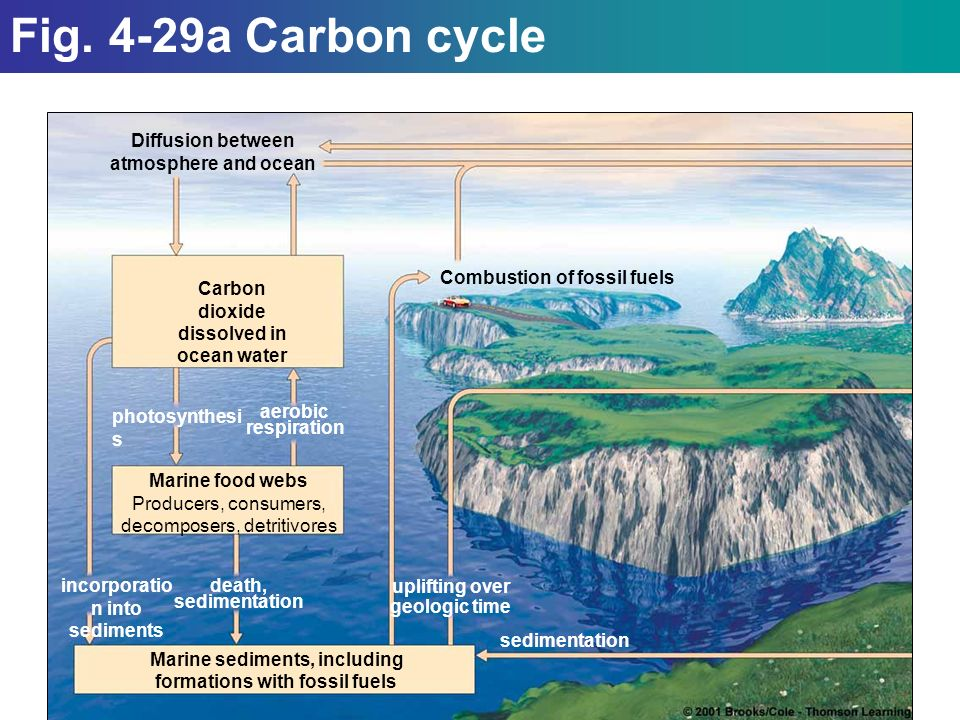 Diffusion between atmosphere and ocean Carbon dioxide dissolved in ocean water Marine food webs Producers, consumers, decomposers, detritivores Marine sediments, including formations with fossil fuels Combustion of fossil fuels incorporatio n into sediments death, sedimentation uplifting over geologic time sedimentation photosynthesi s aerobic respiration Fig.