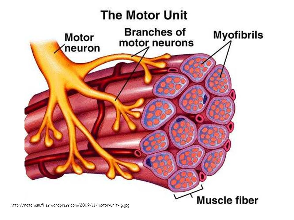 Muscle Physiology Chapter 11 Connective Tissue Components Muscle