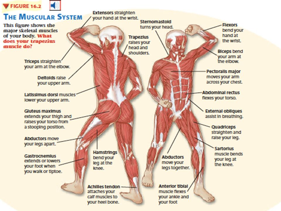 Chapter 16 Body Systems 16 2 Muscular System Muscular System Your