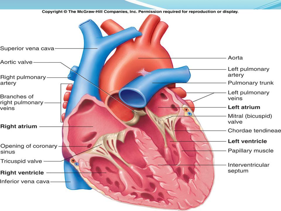 What Parts Make Up The Circulatory System Heart Vessels Veins
