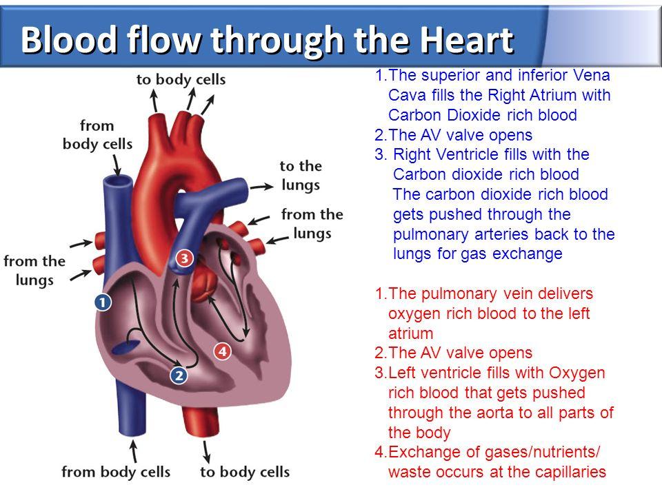 All Parts Of The Heart Choice Image - human anatomy organs diagram