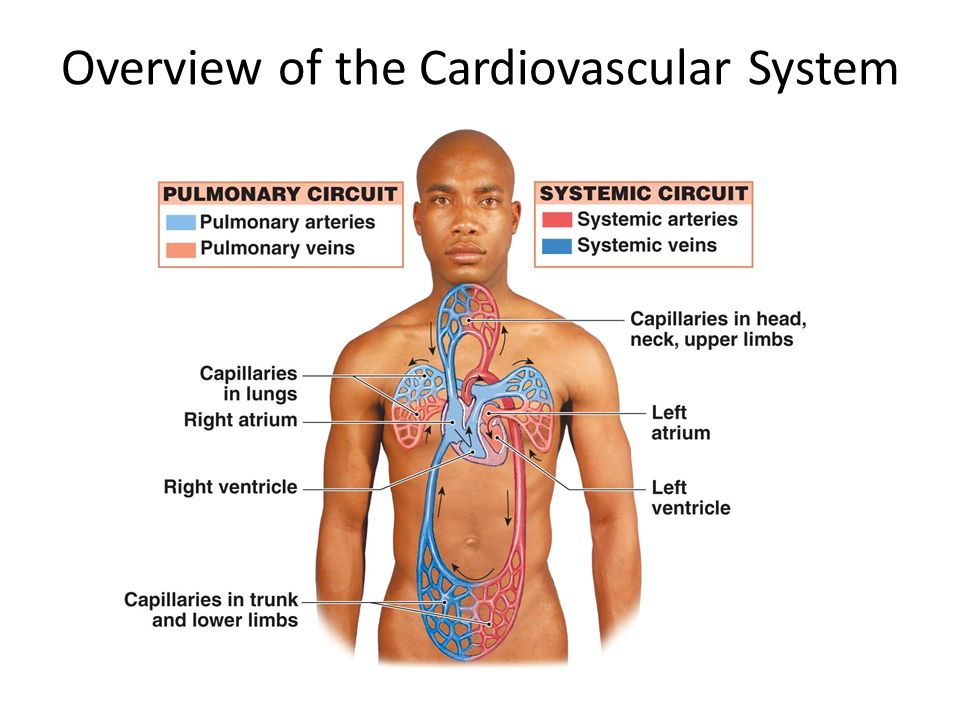 Cardiovascular System The Cardiovascular System A Closed System Of