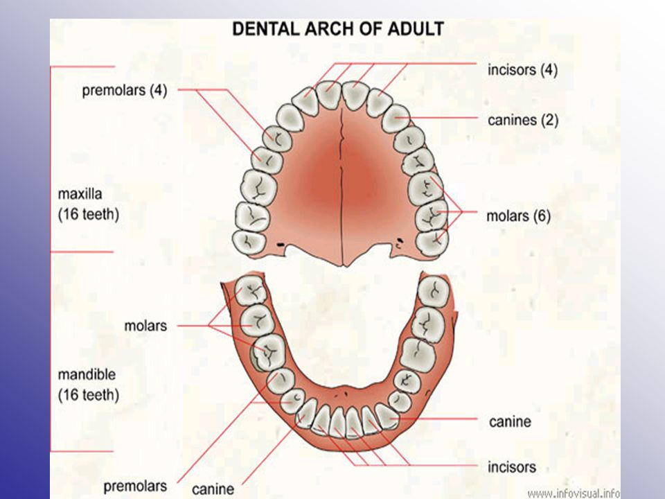 Dental and Pharmacy Skills. Identify the Teeth  Incisors- Located ...