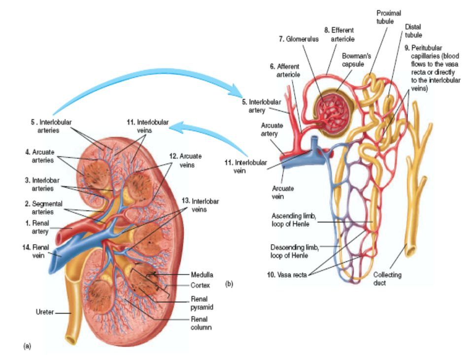 Physiology Of Kidneys Ppt Download