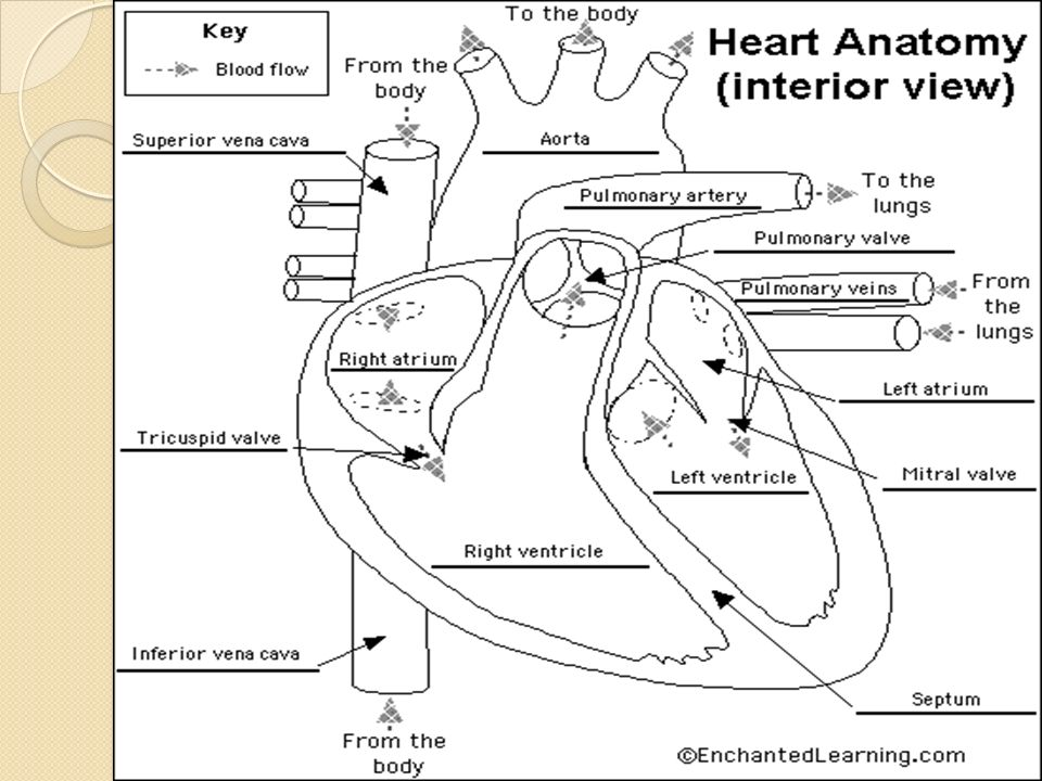 Enchanted Learning Heart Diagram Answers - Auto Electrical Wiring ...