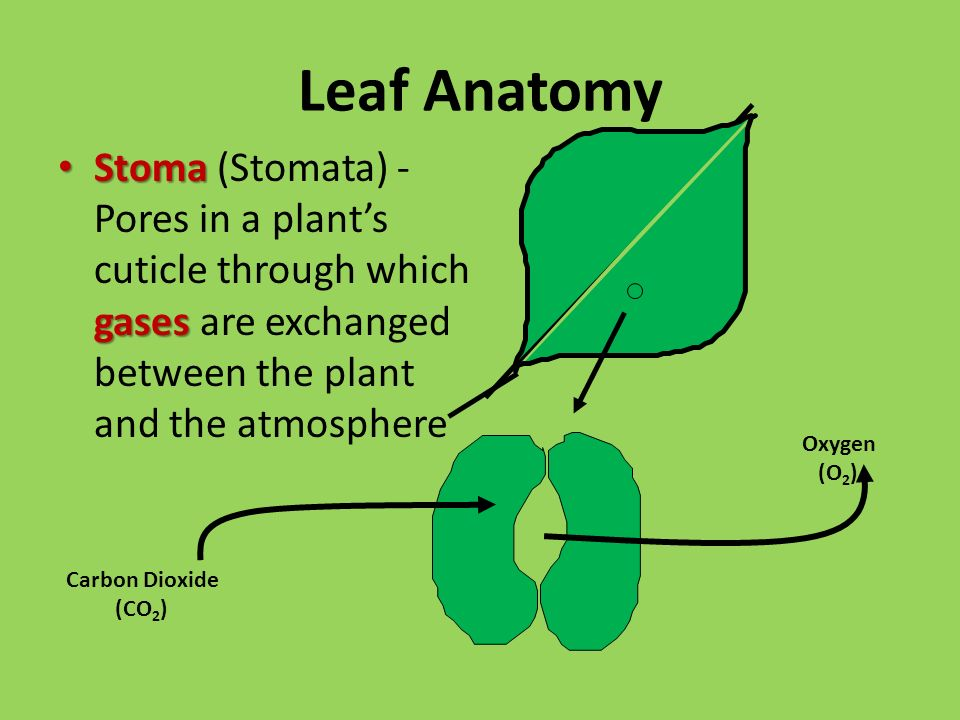 Leaf Anatomy Stoma gases Stoma (Stomata) - Pores in a plant's cuticle through which gases are exchanged between the plant and the atmosphere Carbon Dioxide (CO 2 ) Oxygen (O 2 )
