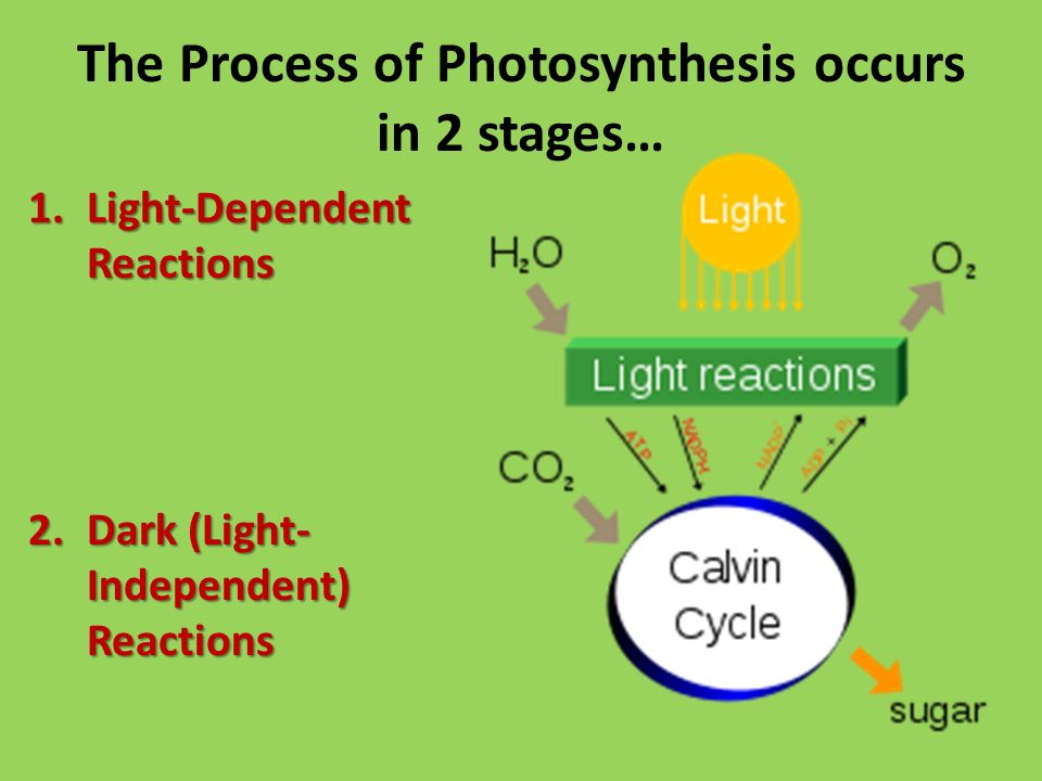 The Process of Photosynthesis occurs in 2 stages… 1.Light-Dependent Reactions 2.Dark (Light- Independent) Reactions