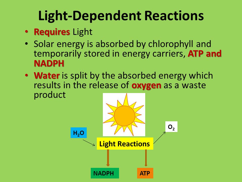 Light-Dependent Reactions Requires Requires Light ATP and NADPH Solar energy is absorbed by chlorophyll and temporarily stored in energy carriers, ATP and NADPH Water oxygen Water is split by the absorbed energy which results in the release of oxygen as a waste product Light Reactions NADPH O2O2 H2OH2O ATP