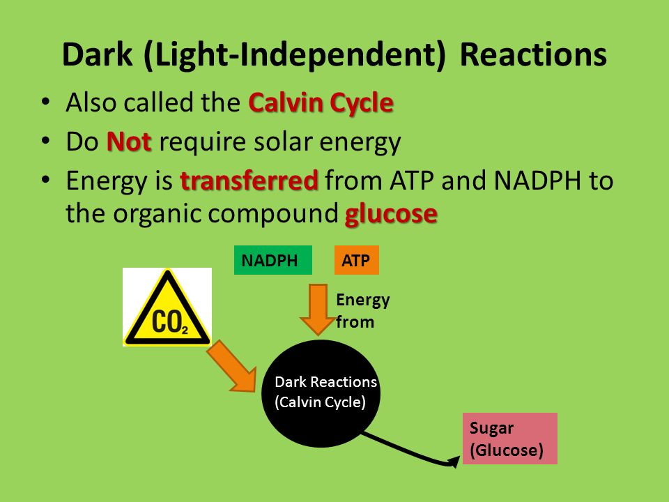 Dark (Light-Independent) Reactions Calvin Cycle Also called the Calvin Cycle Not Do Not require solar energy transferred glucose Energy is transferred from ATP and NADPH to the organic compound glucose NADPHATP Dark Reactions (Calvin Cycle) Energy from Sugar (Glucose)