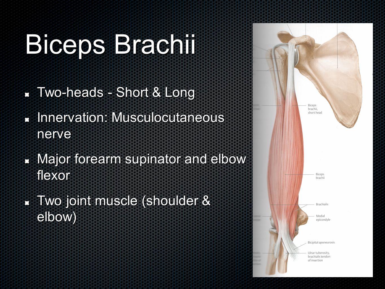 The Proximal Biceps Tendon Anatomy And Biomechanics Geoff Wilkin