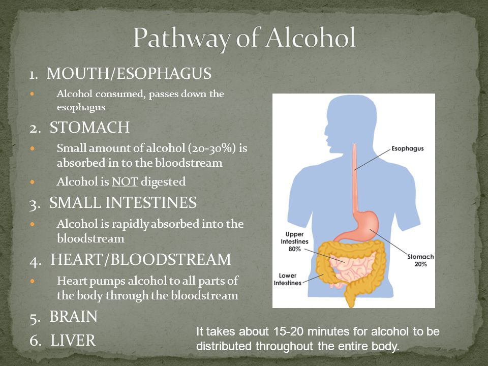 1. MOUTH/ESOPHAGUS Alcohol consumed, passes down the esophagus 2.