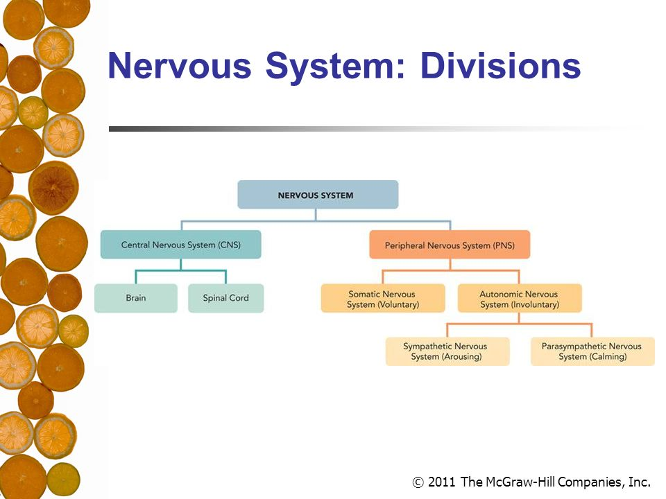 © 2011 The McGraw-Hill Companies, Inc. Nervous System: Divisions