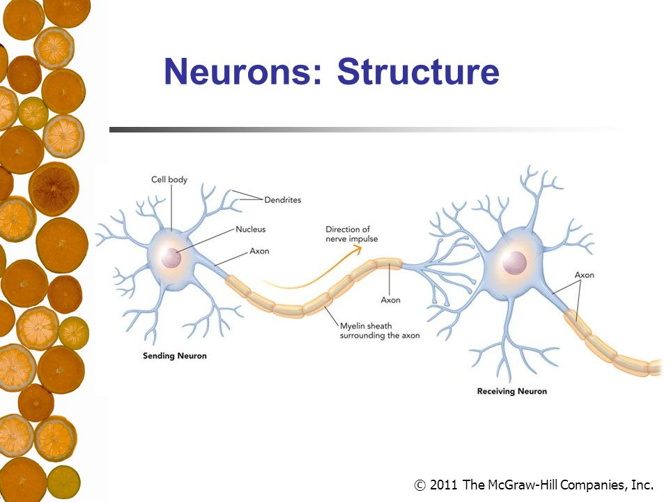 © 2011 The McGraw-Hill Companies, Inc. Neurons: Structure