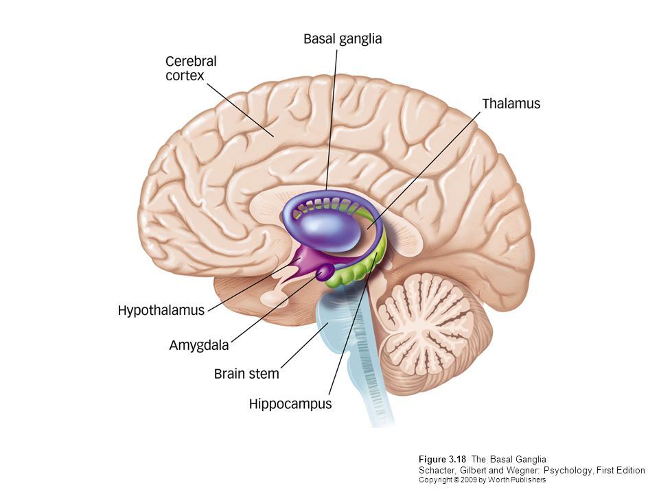 what does the frontal lobe do psychology