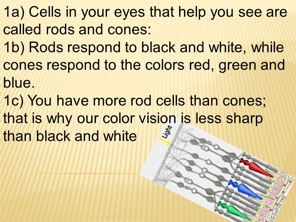 1a) Cells in your eyes that help you see are called rods and cones: 1b) Rods respond to black and white, while cones respond to the colors red, green and blue.