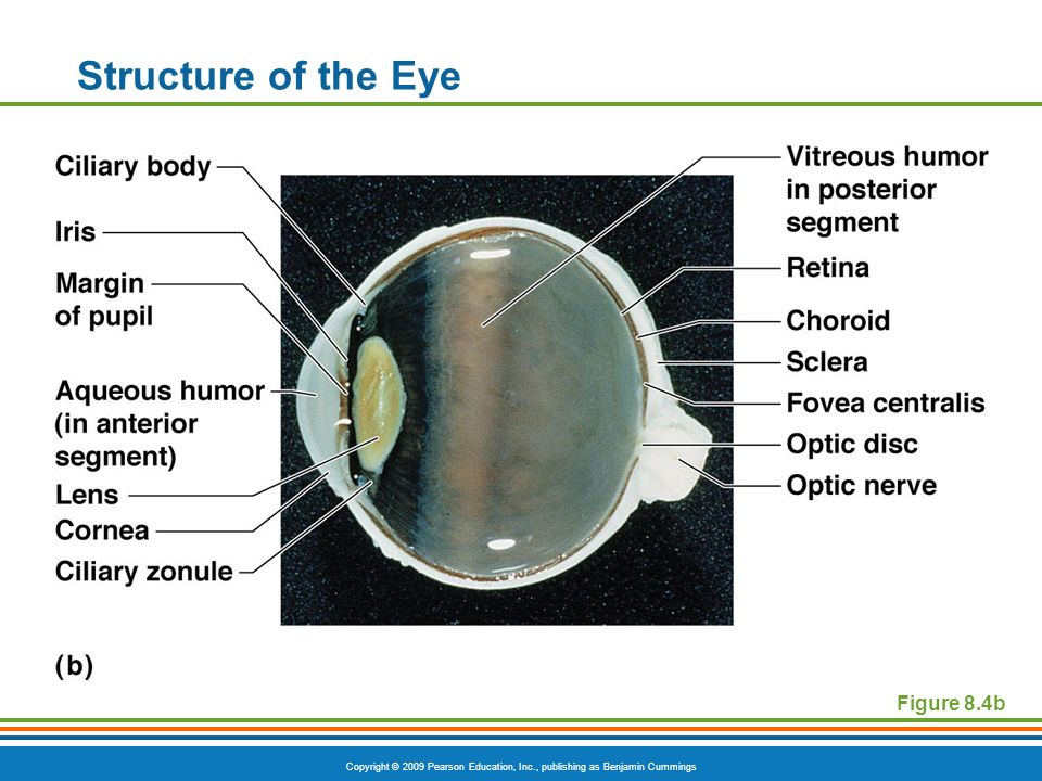 Copyright © 2009 Pearson Education, Inc., publishing as Benjamin Cummings Structure of the Eye Figure 8.4b
