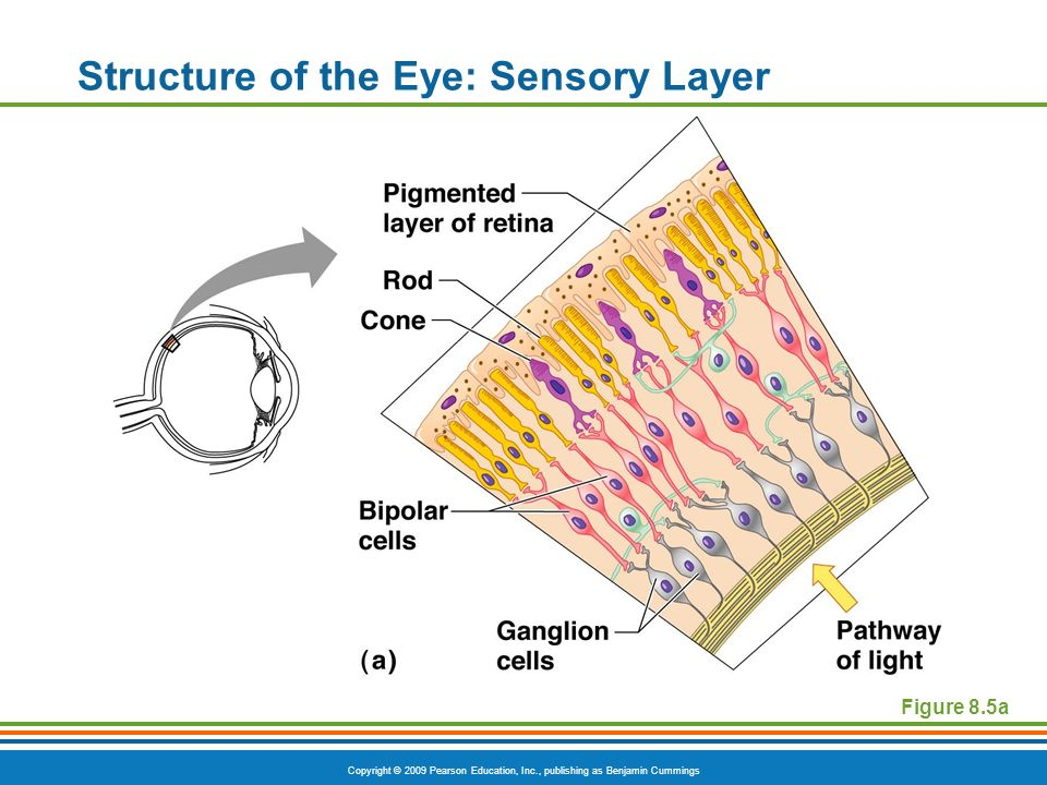 Copyright © 2009 Pearson Education, Inc., publishing as Benjamin Cummings Structure of the Eye: Sensory Layer Figure 8.5a
