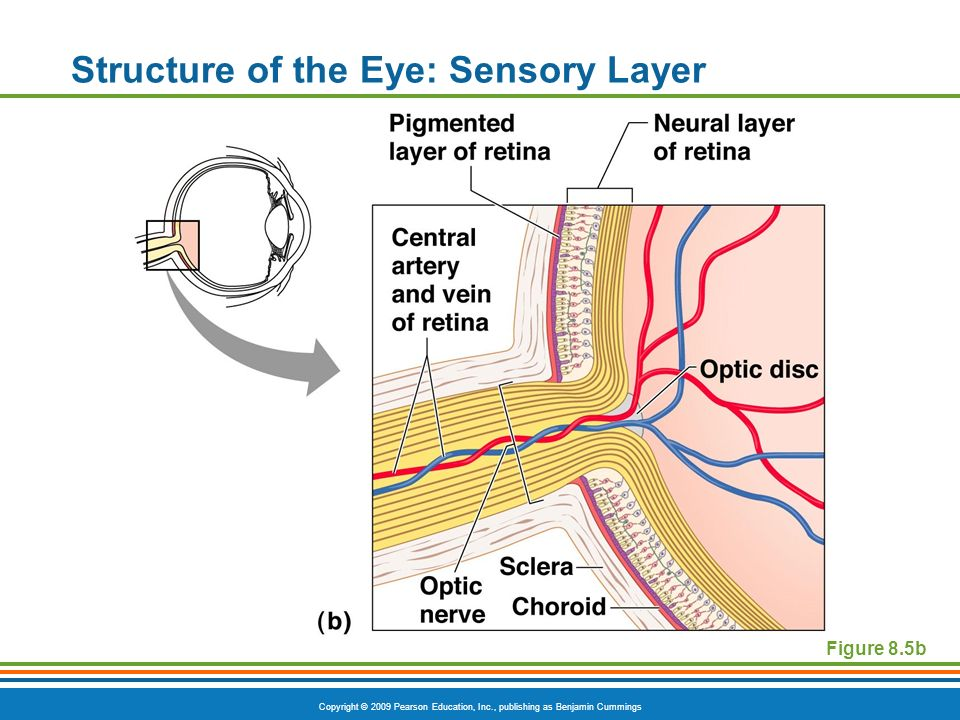 Copyright © 2009 Pearson Education, Inc., publishing as Benjamin Cummings Structure of the Eye: Sensory Layer Figure 8.5b