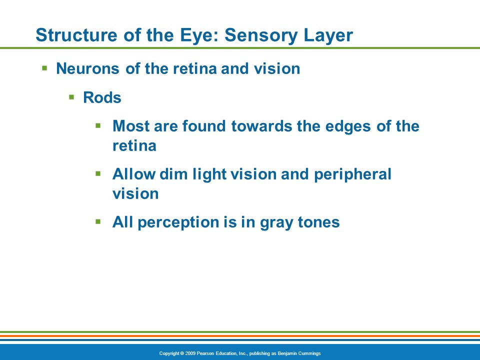 Copyright © 2009 Pearson Education, Inc., publishing as Benjamin Cummings Structure of the Eye: Sensory Layer  Neurons of the retina and vision  Rods  Most are found towards the edges of the retina  Allow dim light vision and peripheral vision  All perception is in gray tones