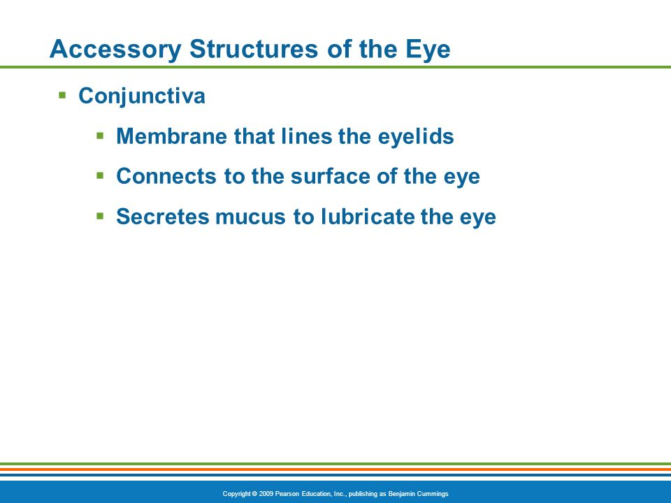 Copyright © 2009 Pearson Education, Inc., publishing as Benjamin Cummings Accessory Structures of the Eye  Conjunctiva  Membrane that lines the eyelids  Connects to the surface of the eye  Secretes mucus to lubricate the eye