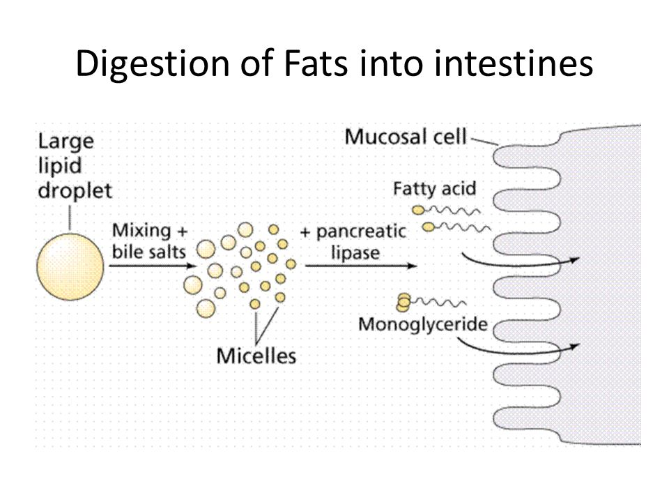 Digestion of Fats into intestines