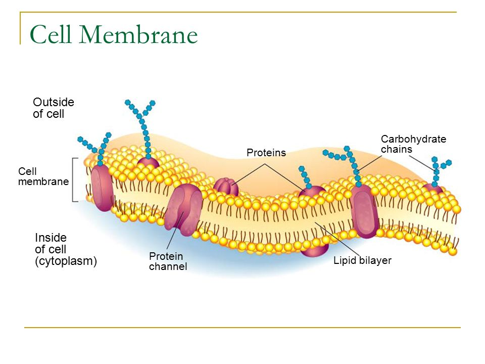 Do Now Explain Which Type Of Cell Evolved First The Eukaryote Or