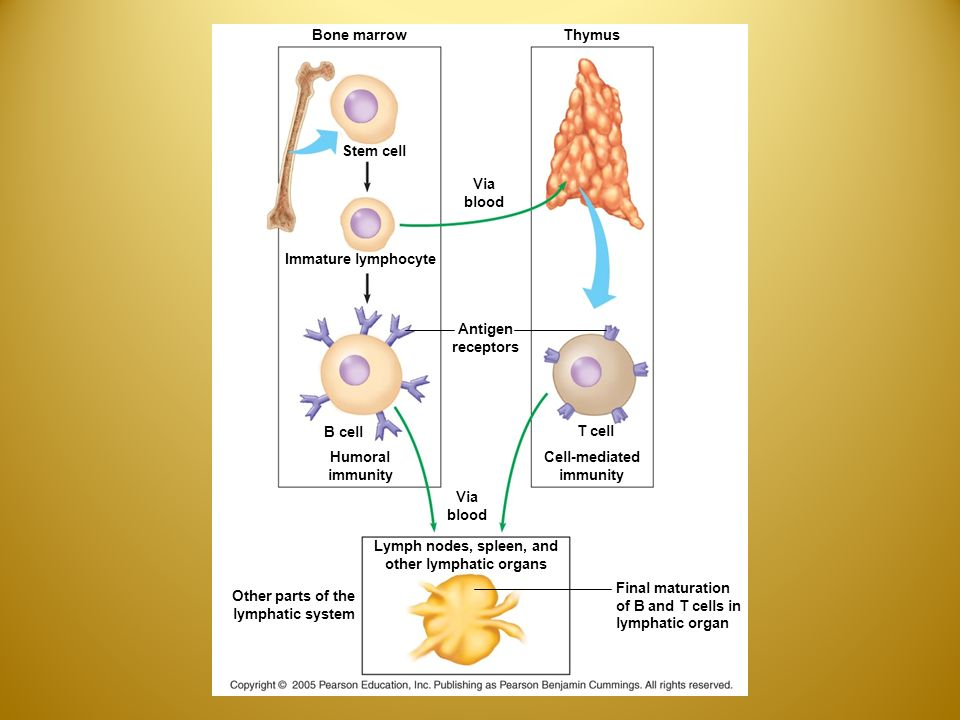 Bone marrow Stem cell Immature lymphocyte Via blood Thymus Antigen receptors B cell Humoral immunity Via blood T cell Cell-mediated immunity Final maturation of B and T cells in lymphatic organ Lymph nodes, spleen, and other lymphatic organs Other parts of the lymphatic system