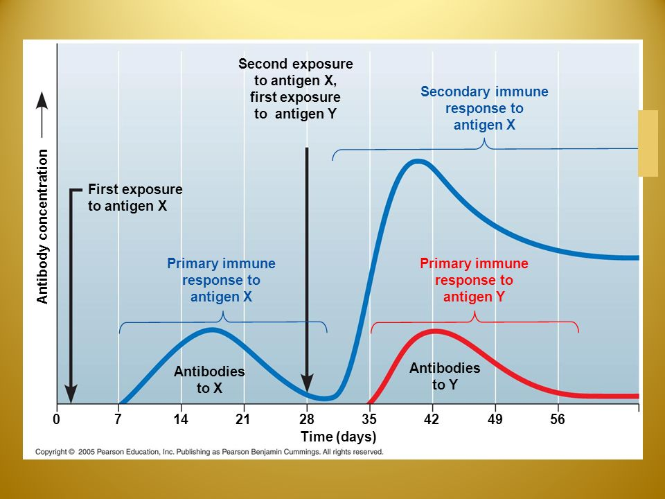 Second exposure to antigen X, first exposure to antigen Y Secondary immune response to antigen X Primary immune response to antigen X Primary immune response to antigen Y First exposure to antigen X Antibodies to X Antibodies to Y Antibody concentration Time (days)