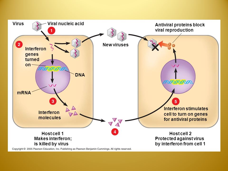 VirusViral nucleic acid New viruses Interferon genes turned on DNA mRNA Interferon molecules Host cell 1 Makes interferon; is killed by virus Host cell 2 Protected against virus by interferon from cell 1 Interferon stimulates cell to turn on genes for antiviral proteins Antiviral proteins block viral reproduction