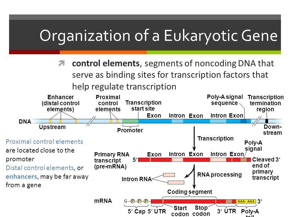Organization of a Eukaryotic Gene  control elements, segments of noncoding DNA that serve as binding sites for transcription factors that help regulate transcription Figure 15.8 DNA Upstream Enhancer (distal control elements) Proximal control elements Transcription start site ExonIntron Exon Promoter IntronExon Poly-A signal sequence Transcription termination region Down- stream Transcription Exon Intron Exon Poly-A signal Primary RNA transcript (pre-mRNA) 5 Cleaved 3 end of primary transcript Intron RNA mRNA RNA processing Coding segment CapUTR Start codon Stop codon UTR Poly-A tail G PP P AAA  AAA Proximal control elements are located close to the promoter Distal control elements, or enhancers, may be far away from a gene