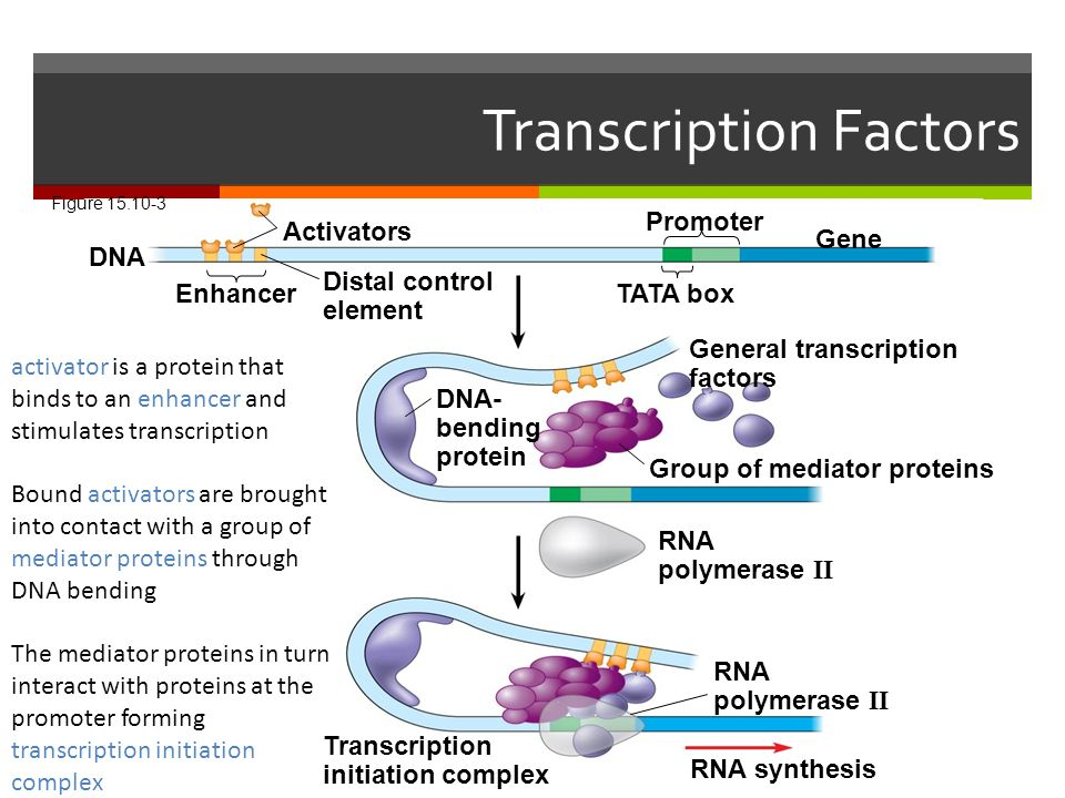 Transcription Factors Figure DNA Enhancer Distal control element Activators Promoter Gene TATA box DNA- bending protein Group of mediator proteins General transcription factors RNA polymerase II RNA synthesis Transcription initiation complex activator is a protein that binds to an enhancer and stimulates transcription Bound activators are brought into contact with a group of mediator proteins through DNA bending The mediator proteins in turn interact with proteins at the promoter forming transcription initiation complex