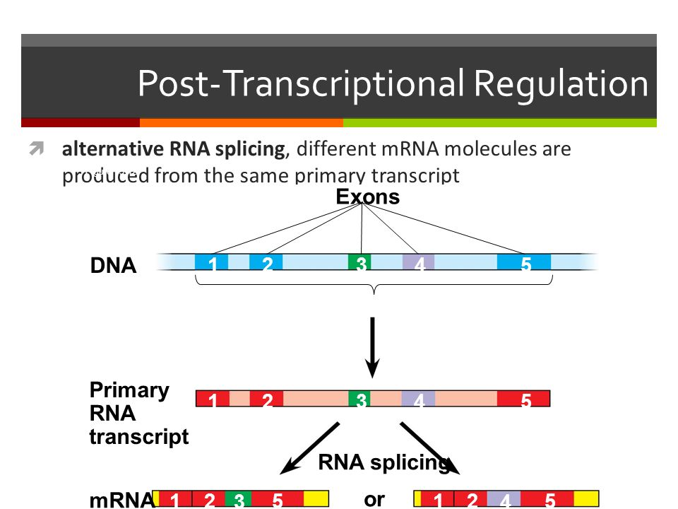 Post-Transcriptional Regulation  alternative RNA splicing, different mRNA molecules are produced from the same primary transcript Figure DNA Primary RNA transcript mRNA or Exons RNA splicing
