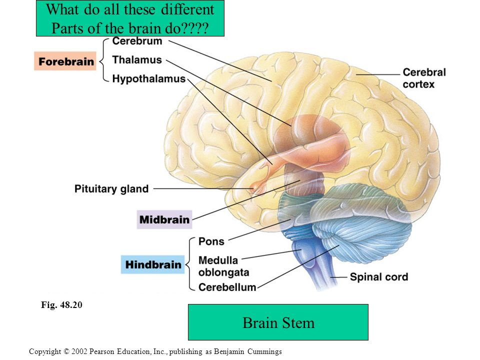 Embryonic development of the vertebrate brain reflects its evolution 3 copyright ccuart Images