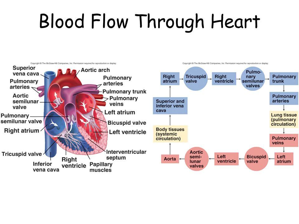 Rat Heart Diagram Blood Flow Through Modern Design Of Wiring Diagram