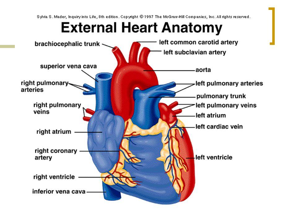 Cardiovascular System Heart Blood Vessels Bv Transport O 2
