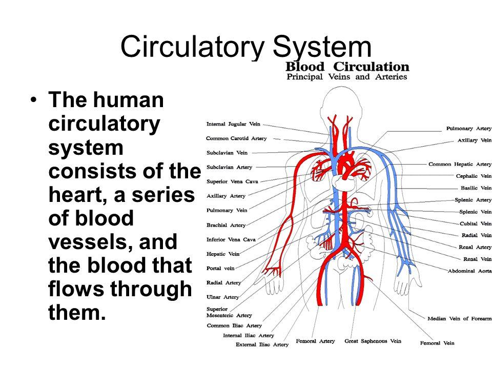 The Circulatory System. Circulatory System The human circulatory ...