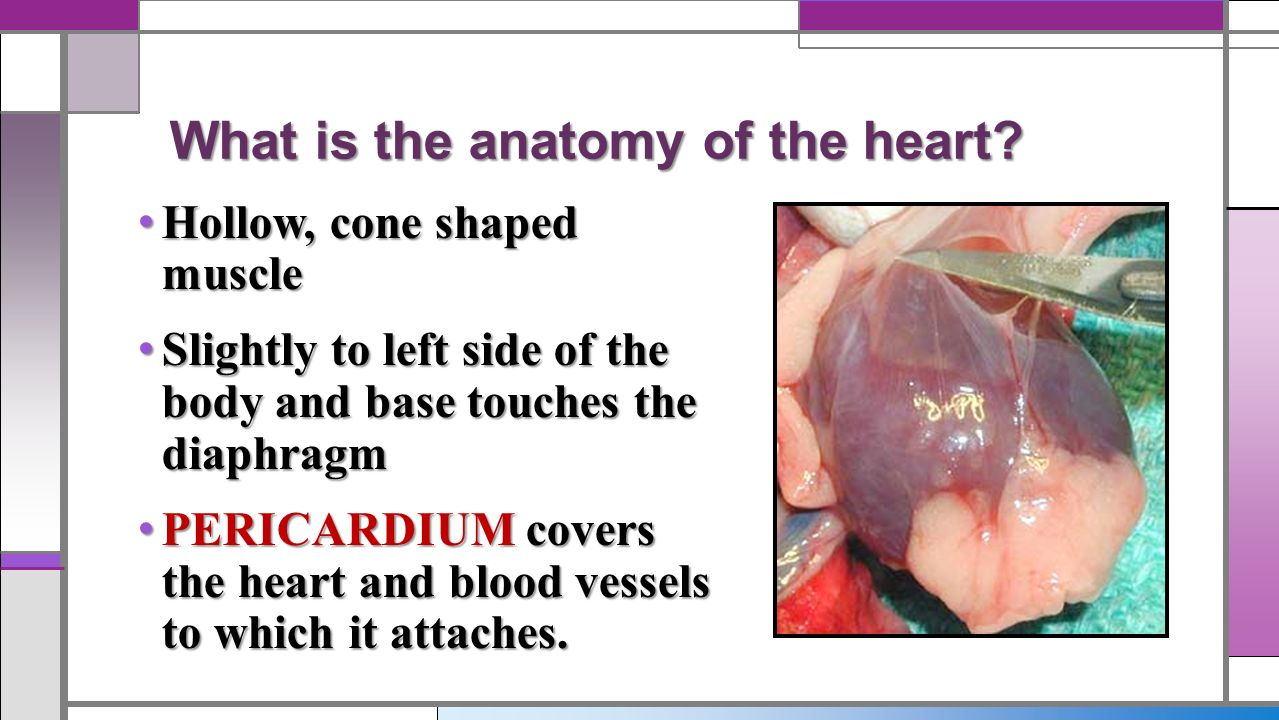 Notes: Heart Anatomy Objective: What is the structure of the human ...