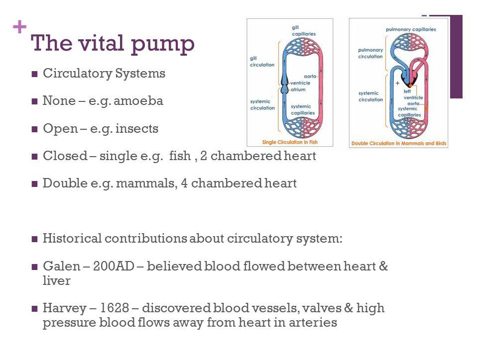 amoeba circulatory system
