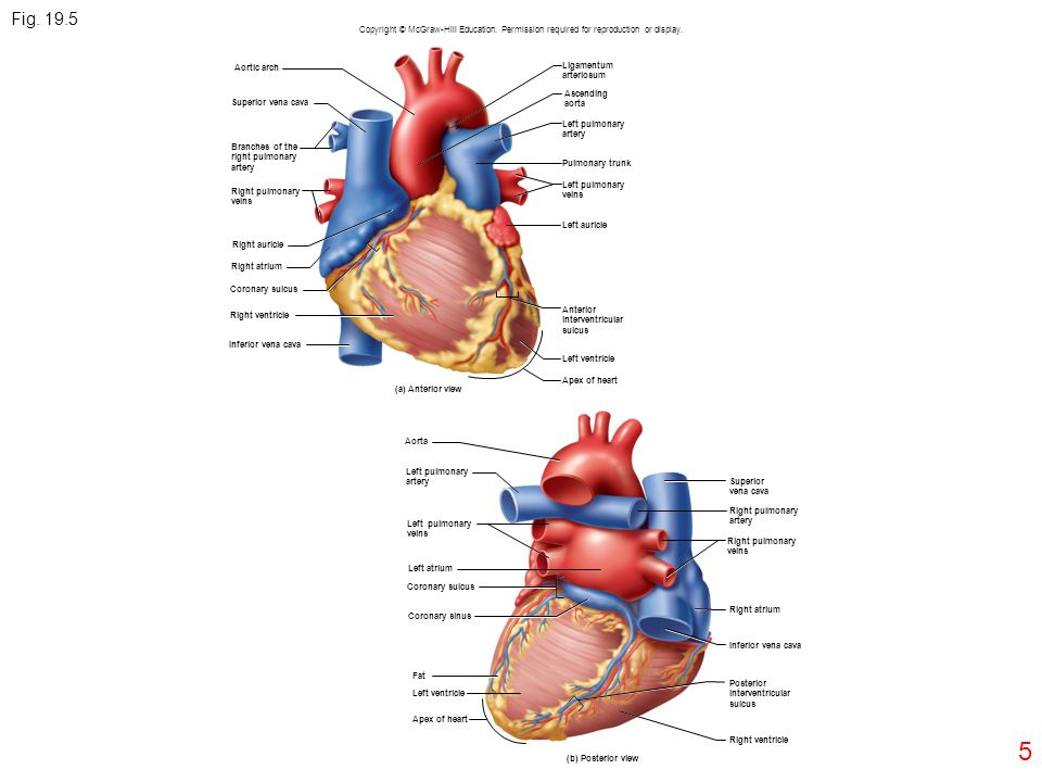 Heart diagram posterior view mcgraw hill simple electronic 1 fig copyright mcgraw hill education permission required for rh slideplayer com heart anatomy diagram heart ccuart Images