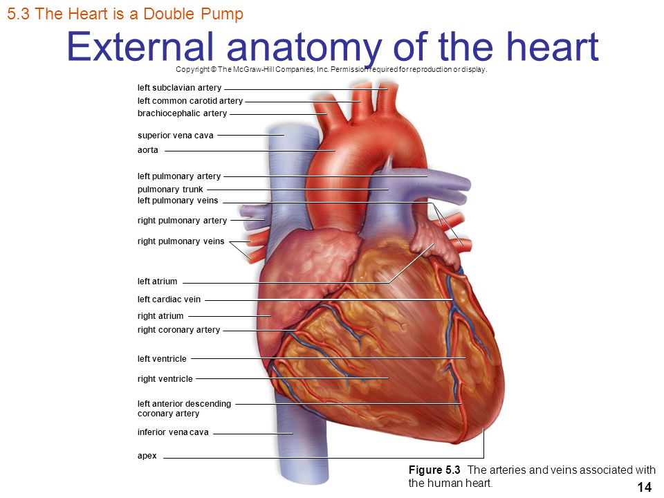 The Internal Anatomy Diagram Of Heart Mcgraw Hill Auto Electrical