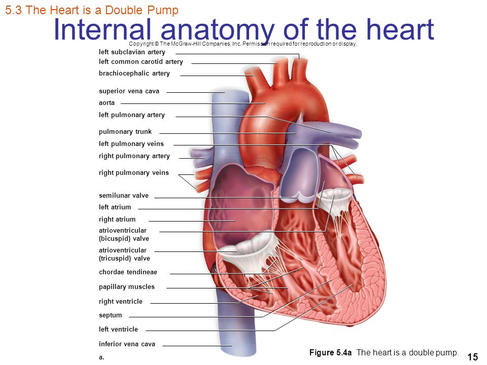 Mcgraw Hill The Heart Diagram Great Installation Of Wiring Diagram