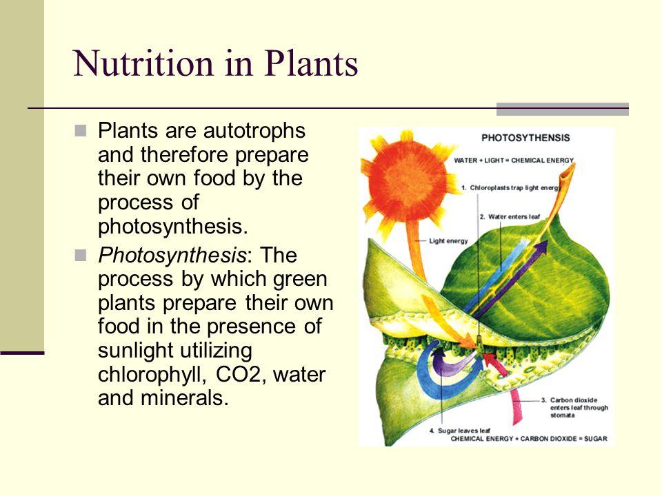 holophytic nutrition