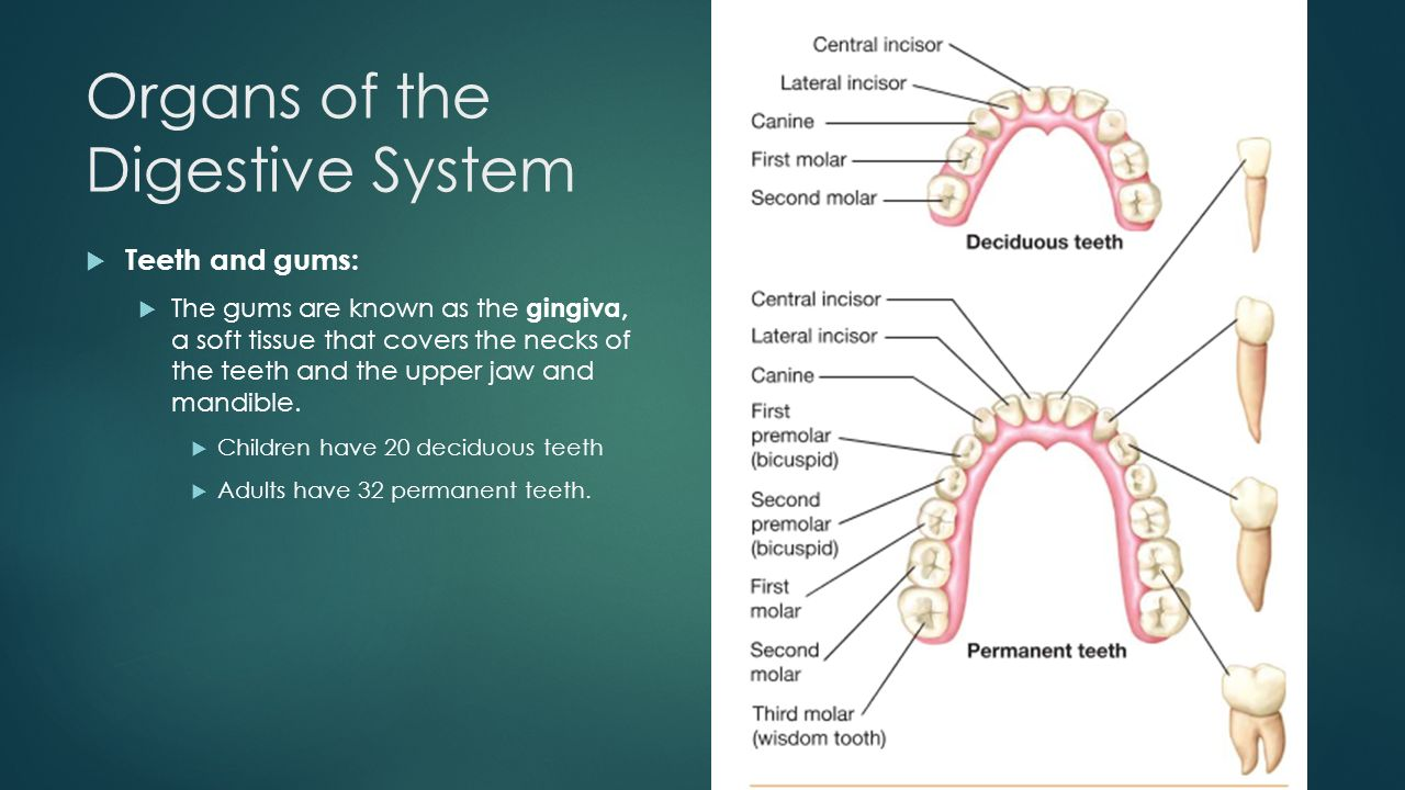 Organs of the Digestive System  Teeth and gums:  The gums are known as the gingiva, a soft tissue that covers the necks of the teeth and the upper jaw and mandible.