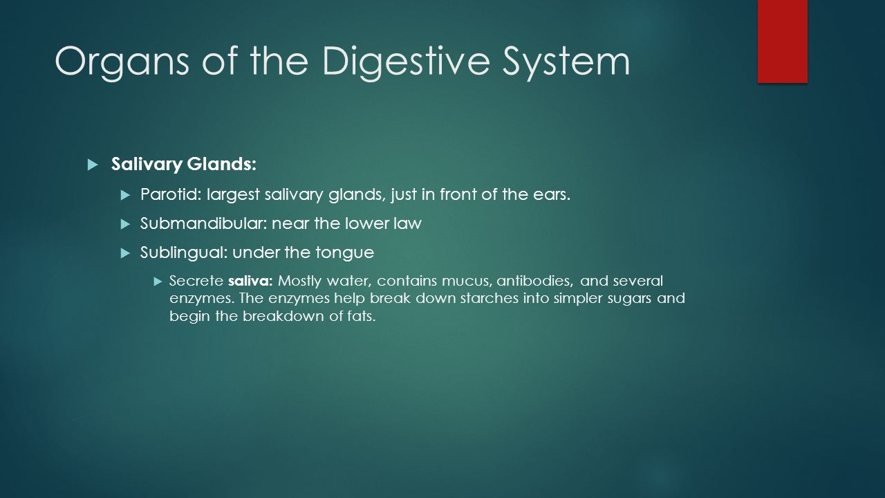 Organs of the Digestive System  Salivary Glands:  Parotid: largest salivary glands, just in front of the ears.